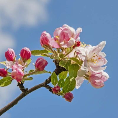 epletre_i_blomst